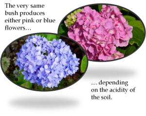 The very same hydrangea bush produces either pink or blue flowers depending on its environment. (image)