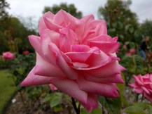 weekend-belfast-botanic-gardens-rose