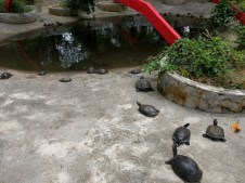 Tortues à Kusu Island