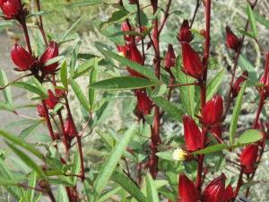 Hibiscus bio