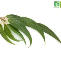 Huile Essentielle d'Eucalyptus globulus bio (10 ml) - Abiessence