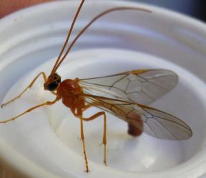Insecte ailé mince rouge orangé