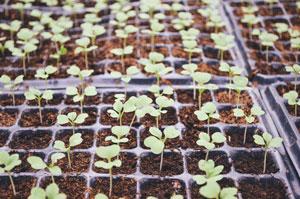 alvéoles pour semis