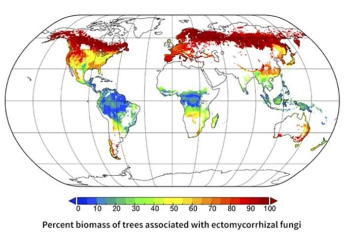 mychorises répartition sur le globe