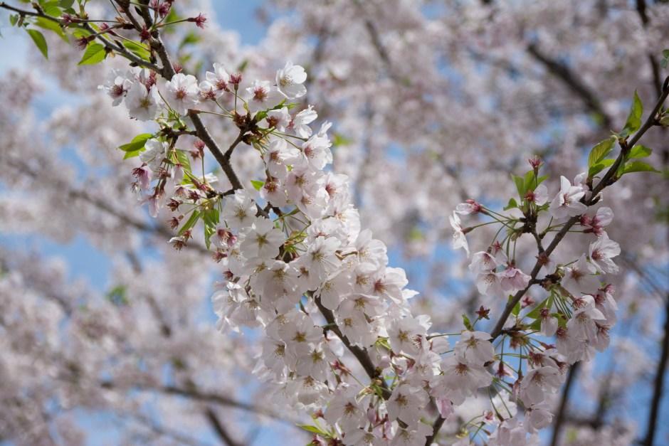 voyage tokyo hanami cerisiers fleurs Chidorigafuchi