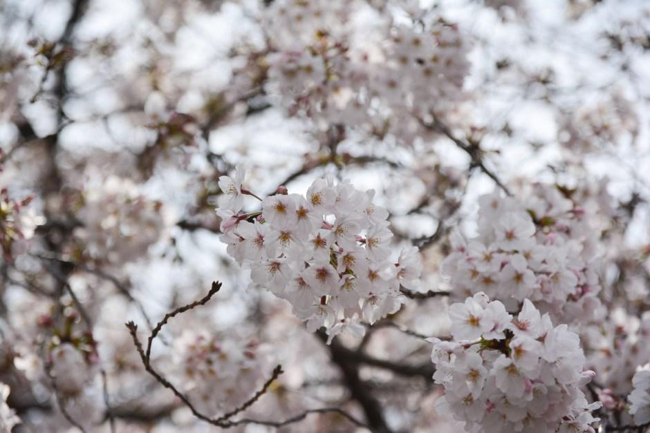 voyage tokyo hanami cerisiers fleurs meguro river