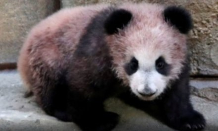 Zoo de Beauval : Première apparition en public pour Yuan Meng, le bébé panda