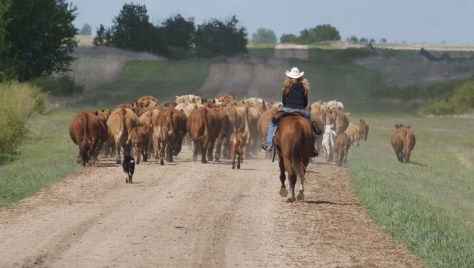 Jan Ludwig herds cattle belonging to Siroski Farms from the corrals to the pasture in this 2012 file photo.