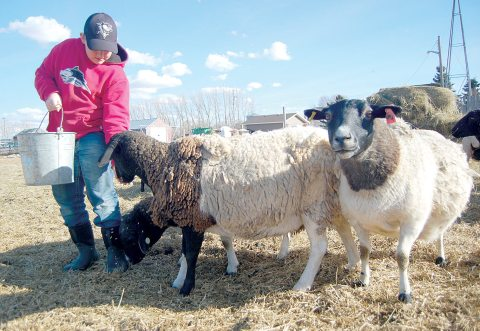 Carson Palmer's ewes come running as the 12-year-old carries a pail of oats. Palmer owns and cares for a herd of 26 ewes and their offspring on the family farm east of Davidson.