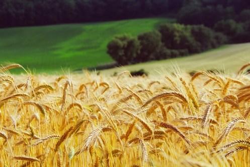 Joseph gathers wheat
