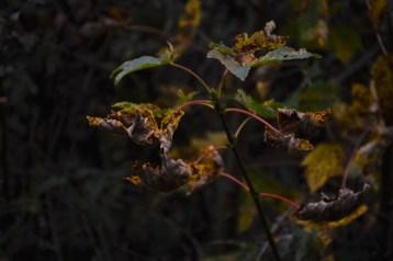 2016-10-31-autumns-dead-leaves-6