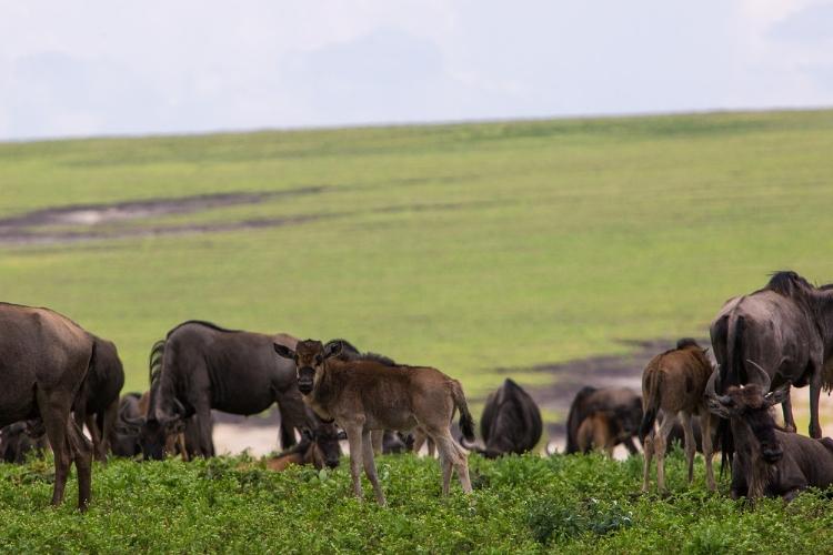 A wildebeest herd grazing with their calves.