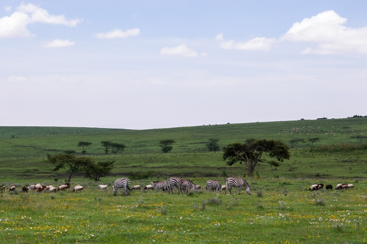 A big zebra herd grazing in the distance.