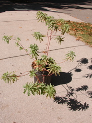 Mystery plant, unadorned