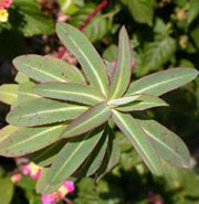 Euphorbia Excalibur