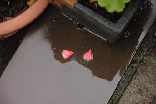 Petals, on steps after rain.
