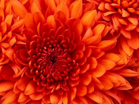 Chrysanthemum3