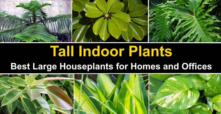 Tall Indoor Plants Best Large Houseplants For Homes And Offices