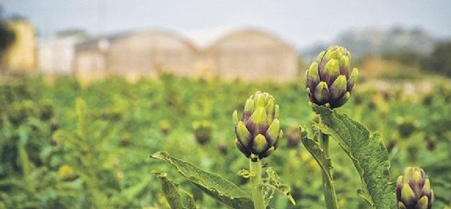 Artichokes in season now