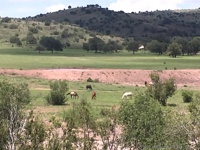 Horses grazing in the pastures in West Texas, at Prude Ranch.