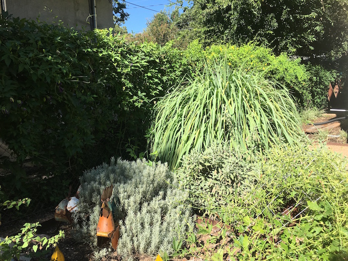 Backyard garden with lemongrass plant