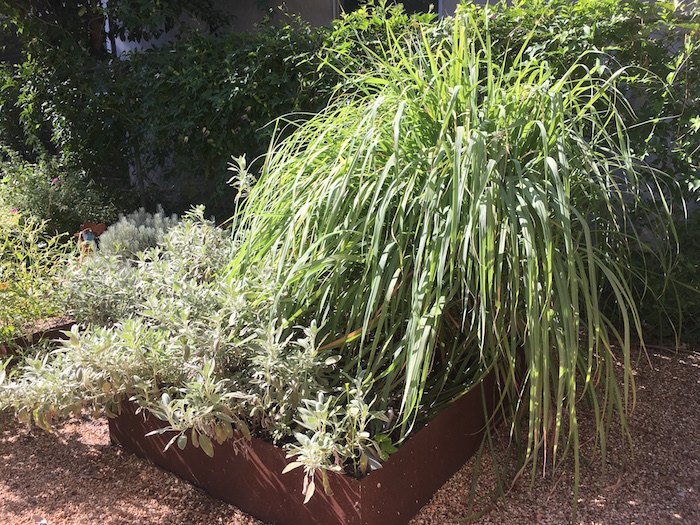Lemongrass plant in backyard garden.