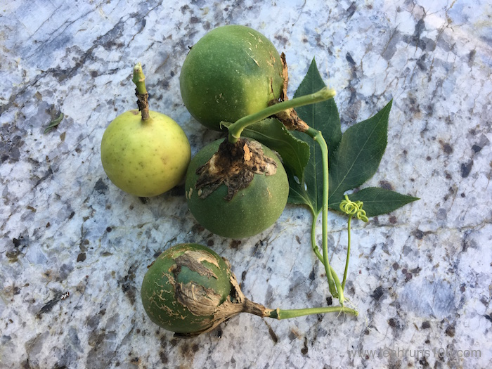 Passionfruit in various stages of ripeness