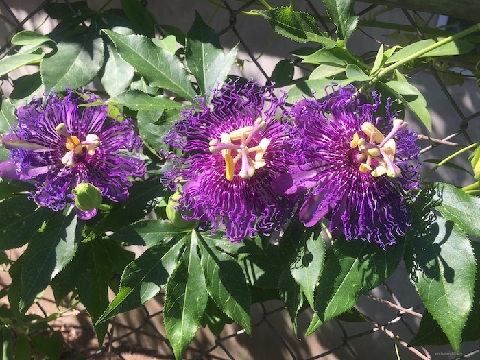 Three Passionflowers