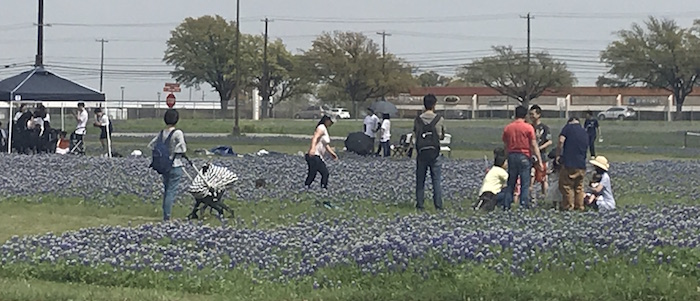 Families in Austin among the bluebonnets, taking family photos