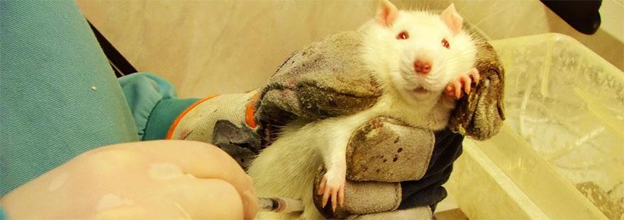 VIVISEZIONE: LO STOP AI TEST DELLE SOSTANZE D'ABUSO SUGLI ANIMALI E' STATO PROROGATO AL 2022