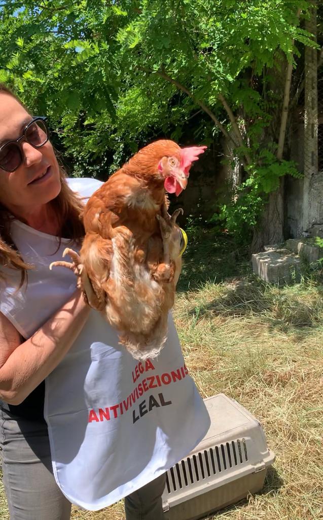 galline salvate destinate al mattatoio