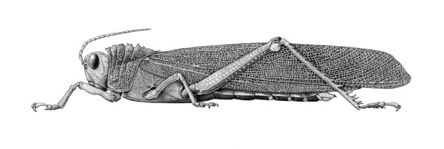 Ilustração exposta no Encontro de Ilustradores da GNSI (Guild of Natural Science Illustrators) em Ithaca, NY. Nanquim sobre papel Fabriano 4.