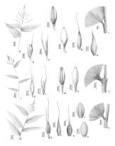 """Ilustrações para dissertação de mestrado: """"A subfamília Bambusoideae (Poaceae) na Ilha de Santa Catarina"""" de Thiago Greco. 2011."""