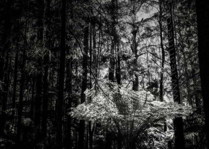 black-spur-rainforest-monochrome-082