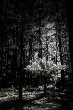 black-spur-rainforest-monochrome-082