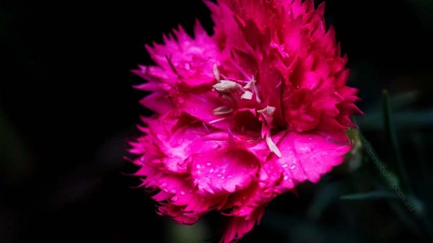 macro-carnation-garden-garden