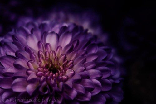 purple-flower-petals-macro-photo