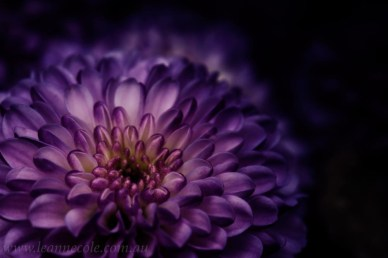 purple-flower-petals-macro-photo