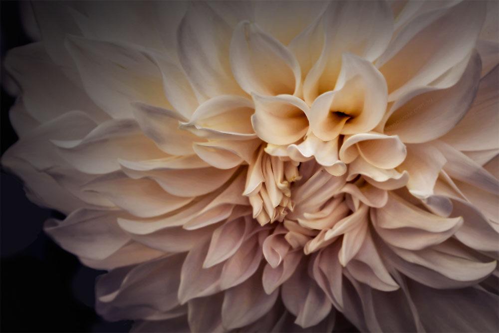 macro-dahlia-mifgs-flower