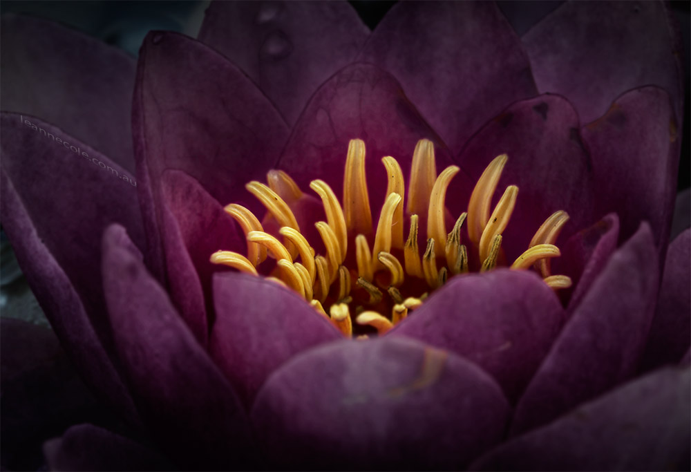 water-lily-mifgs-melbourne-macro
