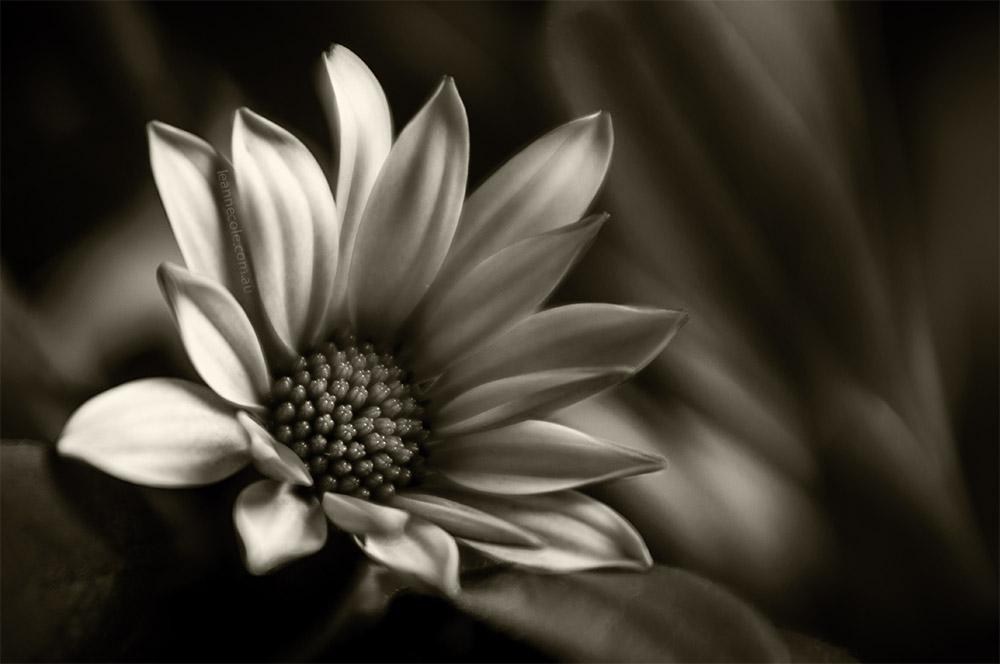 flower-lensbaby-macro-monochrome