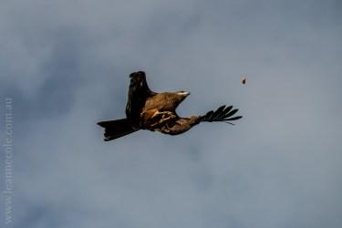 healesville-sanctuary-spirits-of-the-sky-0438