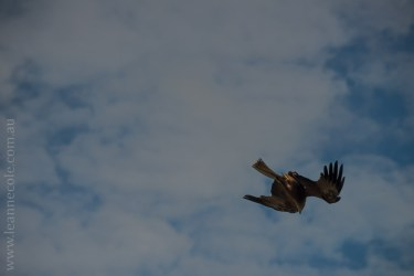 healesville-sanctuary-spirits-of-the-sky-0443