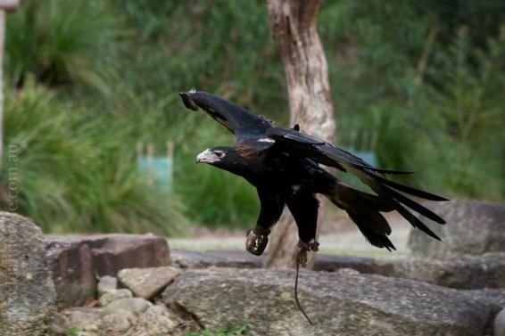healesville-sanctuary-spirits-of-the-sky-0727