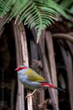 healesville-sanctuary-birds-australian-0333