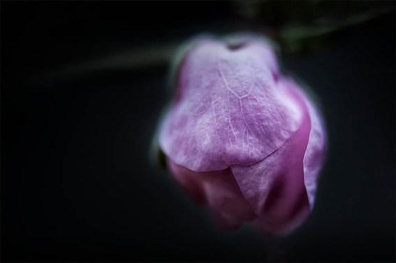 neighbours-garden-peach-blossom-macro