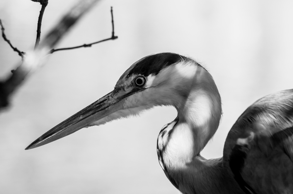 mm-grey-heron