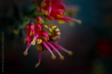 flora-healesville-sanctuary-lensbaby-velvet56-4663