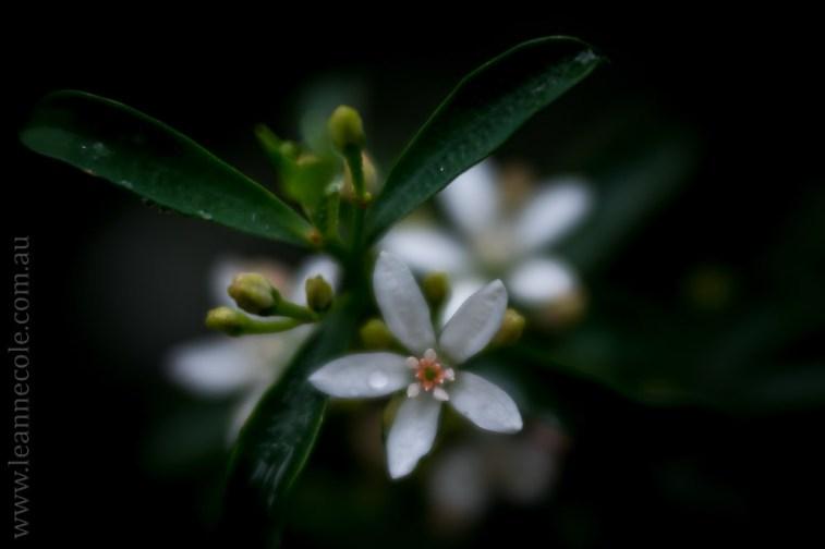 flora-healesville-sanctuary-lensbaby-velvet56-4714