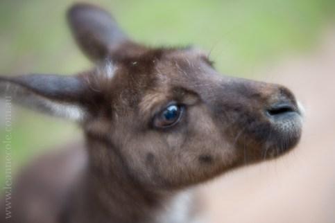 healesville-sanctuary-animals-lensbaby-velvet56-4733